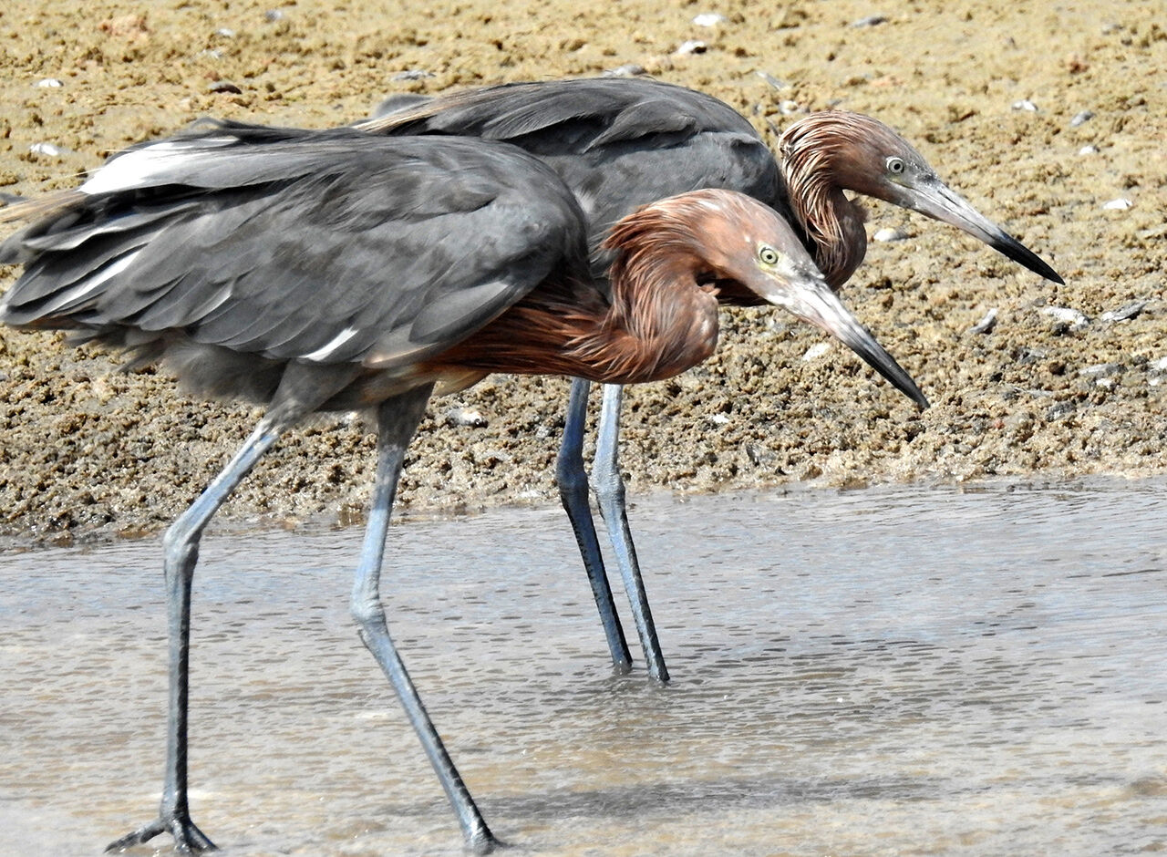 Two Reddish Egrets, hunting in a wetland on Bonaire.