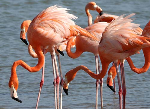 American Flamingos are commonly observed on Bonaire.