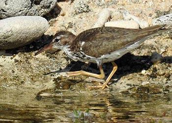 World Shorebirds Day; Count Bonaire's Birds!