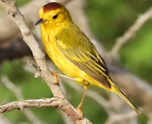 Yellow Warblers are commonly viewed all around Bonaire.