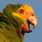 Portrait of Bonaire's Yellow-Shouldered Parrot.