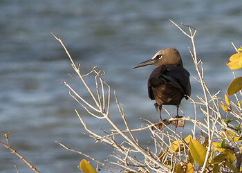 The Brown Noddy, a Rare Bird for Bonaire.