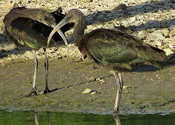 Glossy Ibis Observed on Bonaire