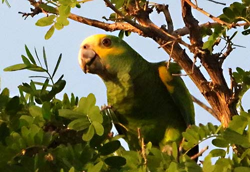 The Yellow-shouldered Parrot is a common visitor to Bonaire backyards.
