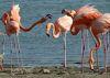 The American Flamingo is Bonaire's iconic bird.