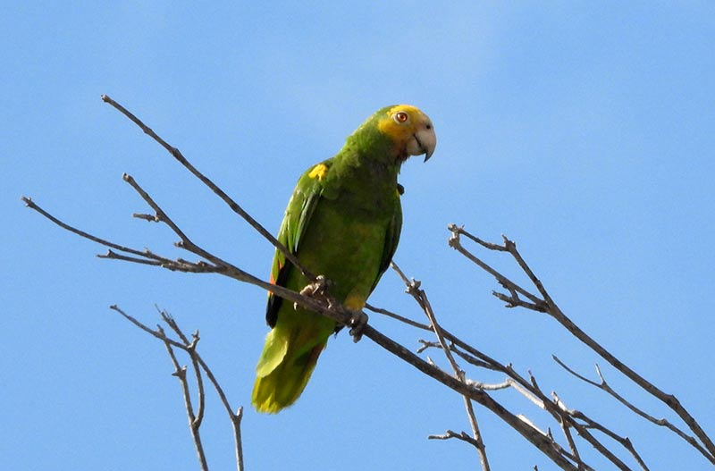 Bonaire's Yellow-shouldered Amazon Parrot.