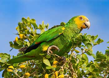 Bonaire's Parrot Population Stable after 2020 Count