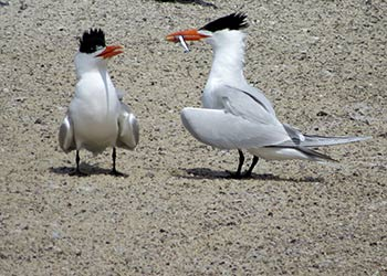 The Secret Life of Terns–Courtship Behaviors