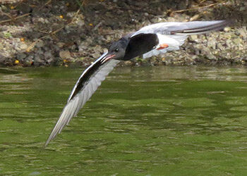 The Vagrant White-winged Tern