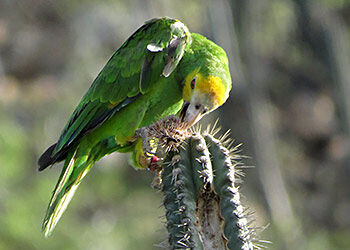 Captive-born Parrots are released by Echo Bonaire