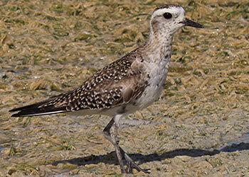 Bonaire Rare Birds Report for January-June 2021