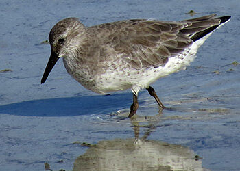 The Mystery of the Missing Red Knots